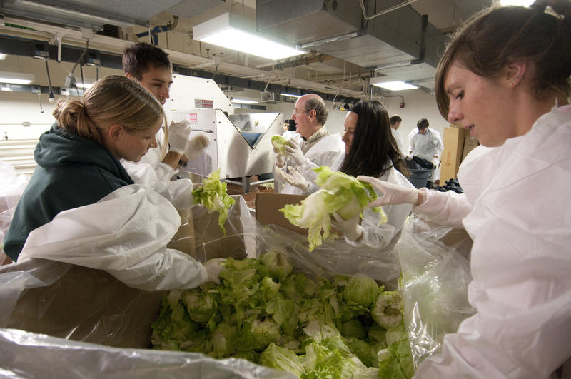 MSU students in lab studying lettuce processing