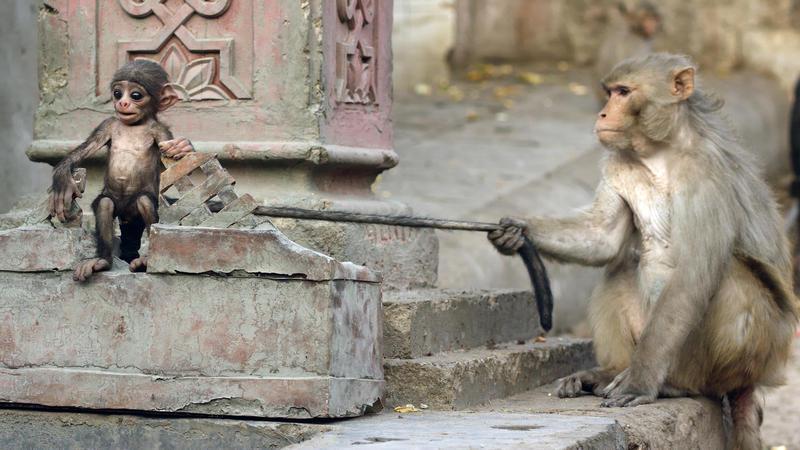 Spy in the wild - monkey