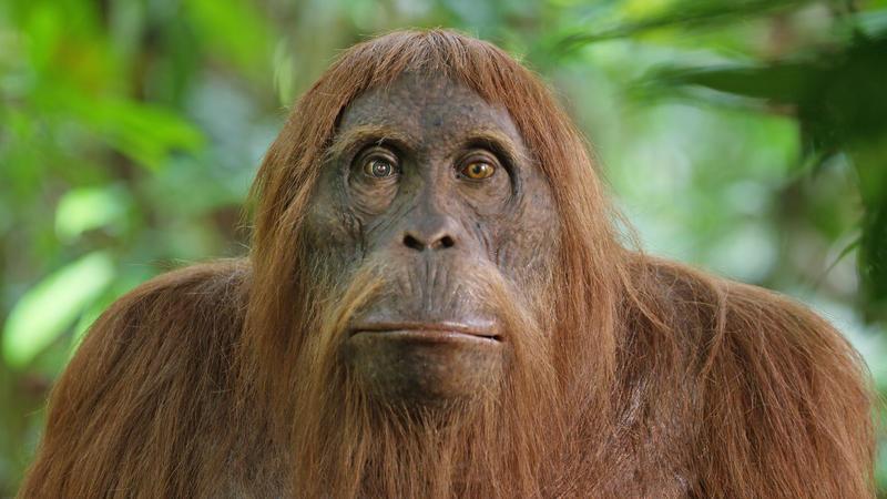 Spy in the Wild - Orangutan