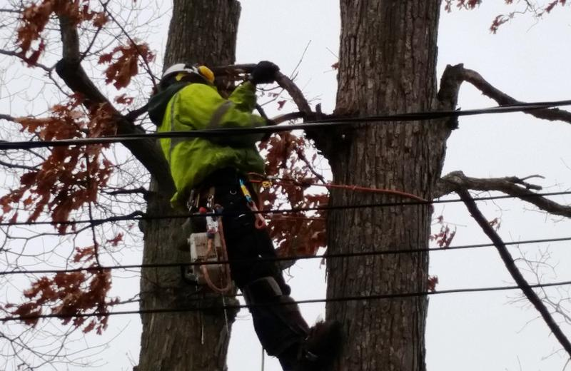 man trims tree near power line