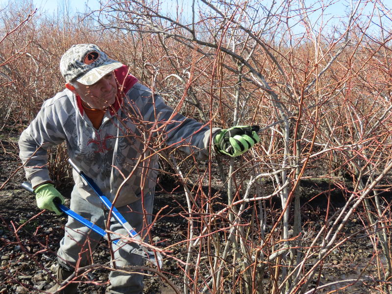 Salvador Calderon prunes blueberry bushes at Leduc Farm in Paw Paw