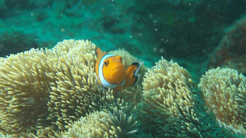 Clounfish