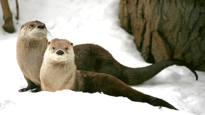 Otters in winter.