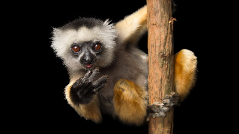 sifaka on a stick