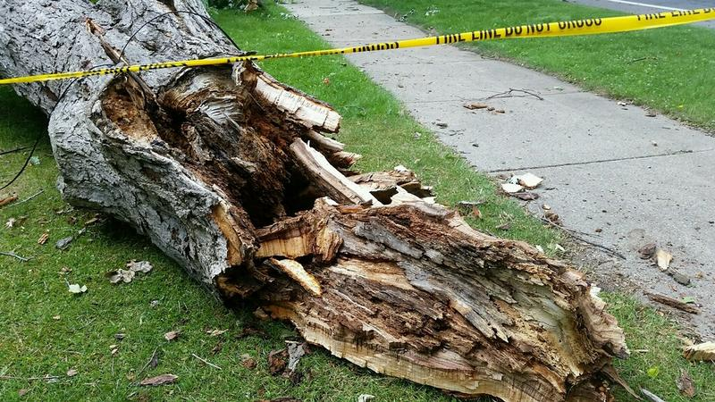 Damaged tree trunk in Charlotte, Michigan after a severe thunderstorm hours earlier.