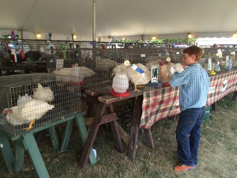 Isaac feeds his chickens at the Clinton County Fair.