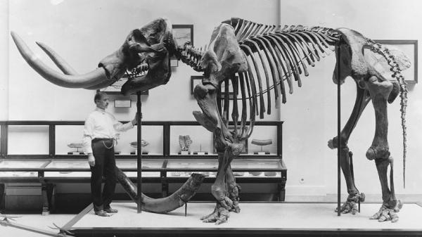 A museum employee stands beneath a mastodon skeleton on display at the U.S. National Museum, now the Smithsonian National Museum of Natural History, circa 1917. A new study revisits an old debate about the evidence for an early mastodon hunt in North Amer