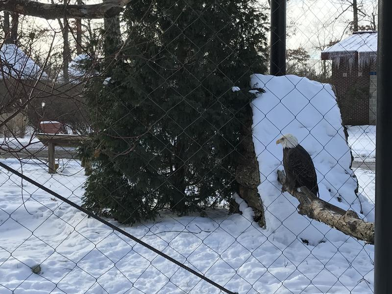 The bald eagle does well in cold temperatures.