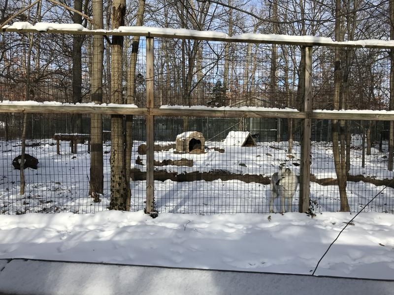 The light gray wolf is a female. Her two brothers are darker gray.
