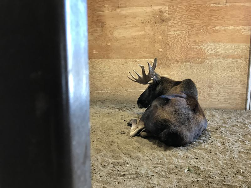 The male moose weighs about 1,000 pounds.
