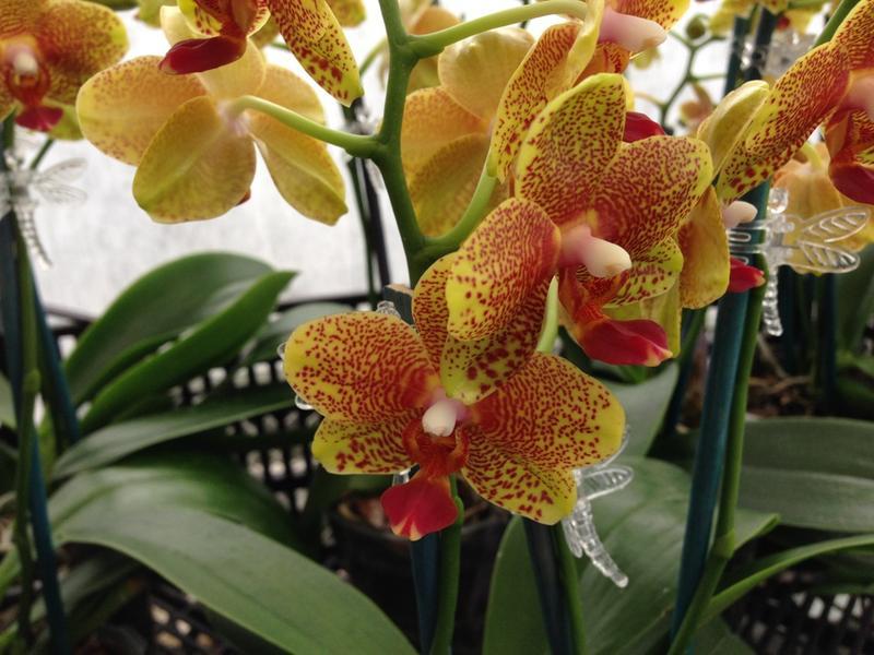 Porter's Orchids is located near Grand Ledge, MI.