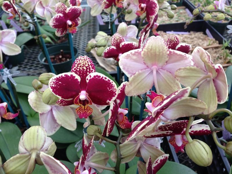 The Greater Lansing Orchid Society show and sale is this weekend at MSU.