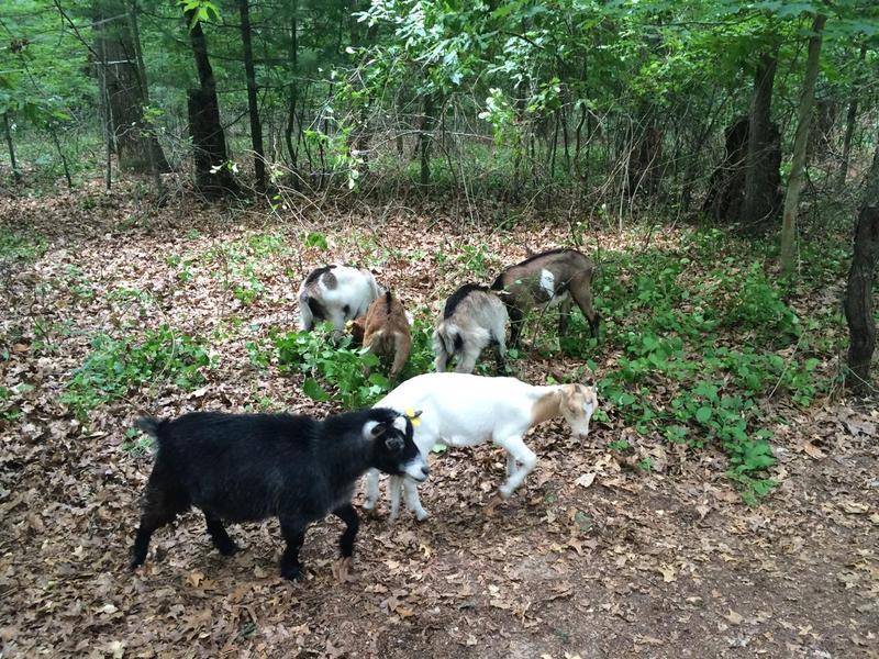 Goats photo 2