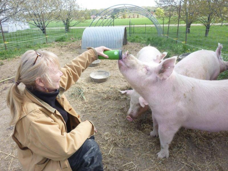 Laurie Thorp with pigs at the Organic Pig Project at the Student Organic Farm at MSU.