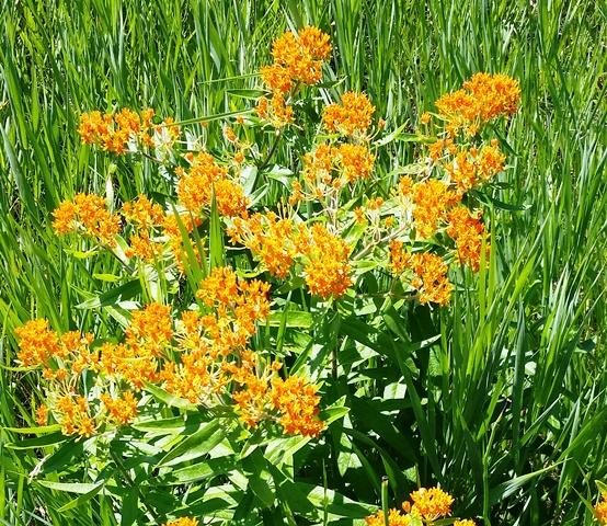 Butterfly weed photo