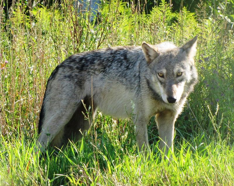 Female gray wolf photo