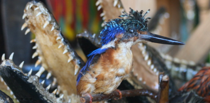 Madagascar malachite kingfisher photo
