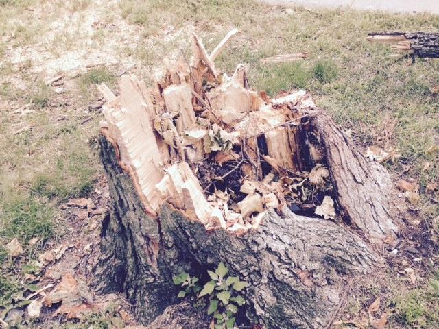 Portland tornado felled tree
