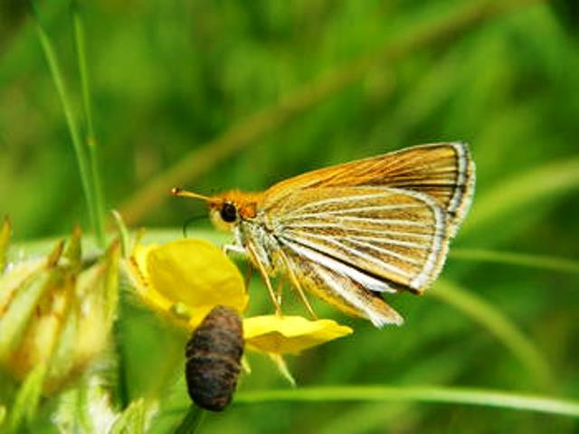 Poweshiek Skipperling photo