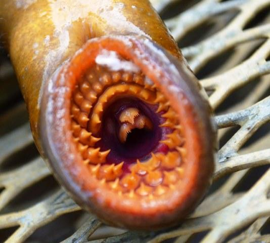 Sea lamprey photo