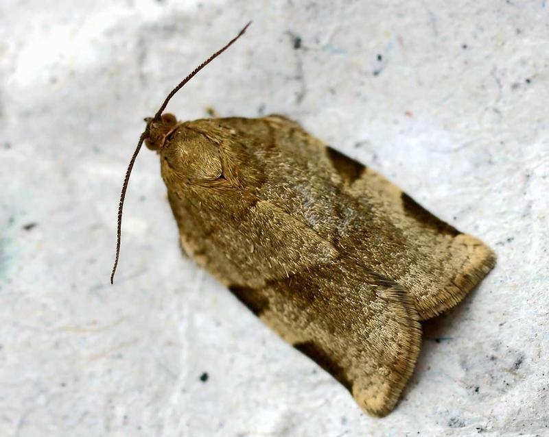 Spruce budworm moth photo