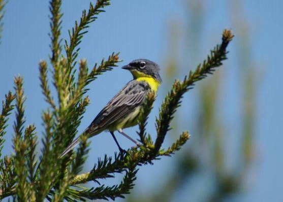 Kirtland's Warbler photo
