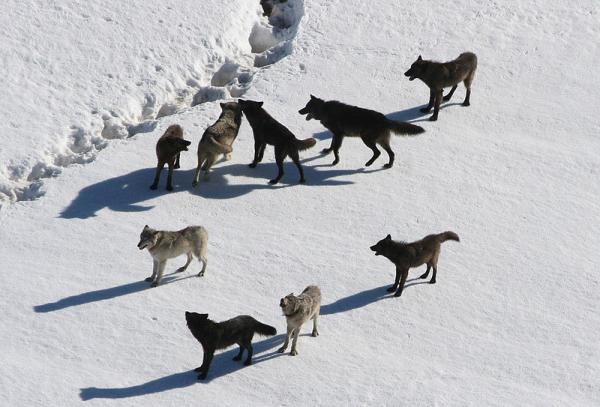 Last December, Governor Rick Snyder signed Public Act 520, which empowers the state's Natural Resources Commission to institute a wolf hunting season.