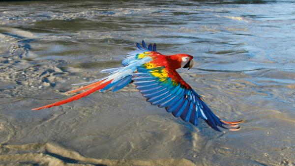 Colorful macaw flying over water
