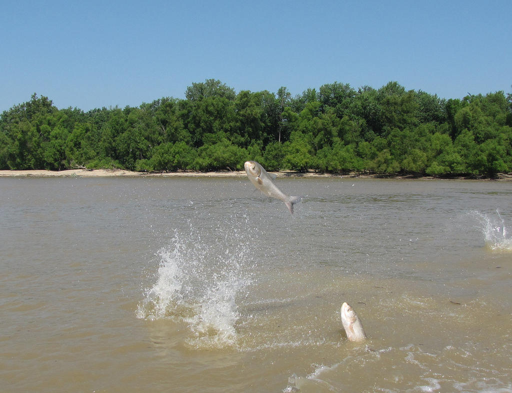 Study on Asian Carp suggests multi-million dollar project