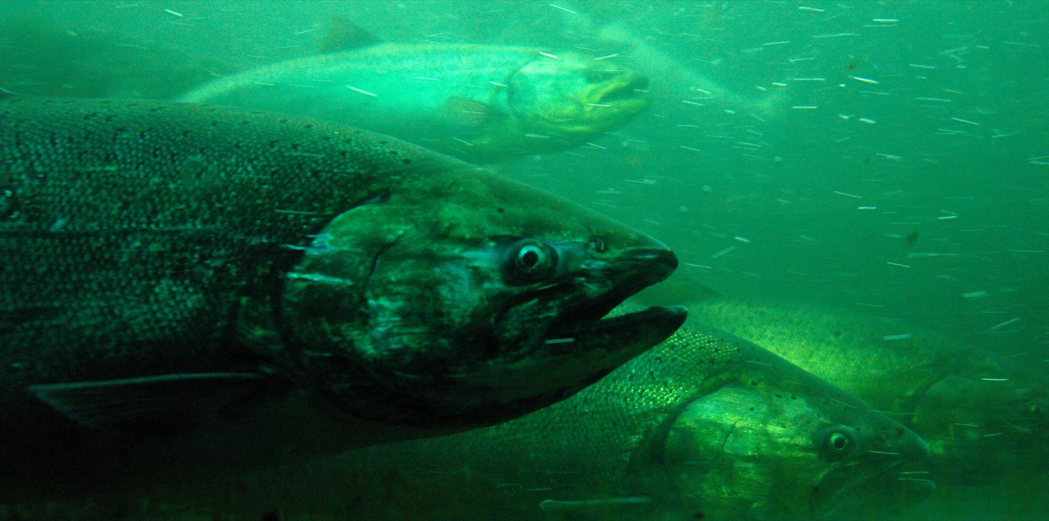 an analysis of the causes of decline of the populations of chinook salmon For example, over the last 20 years, multiple populations of chinook salmon ( oncorhynchus tshawytscha), as well as southern resident and focus of our analysis is on the four marine mammal predators that have been previously documented to consume juvenile or adult chinook salmon: harbor seals,.