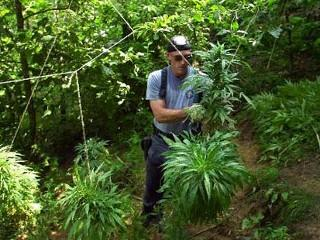 A member of Kentucky?s state marijuana strike force cuts down marijuana in rural Breathitt County, Ky. (AP Photo)