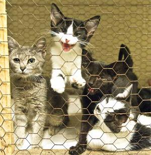 Kittens housed at the Hopkins County Humane Society in Madisonville. Photo by Jim Pearson, The Messenger. Published Aug. 25, 2009.