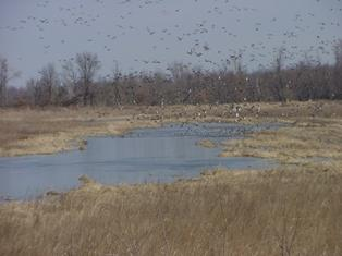 Wetlands are home to many species including migratory waterfowl.