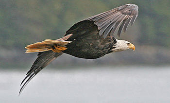 The bald eagle is one of the species affected by development along the Ohio River