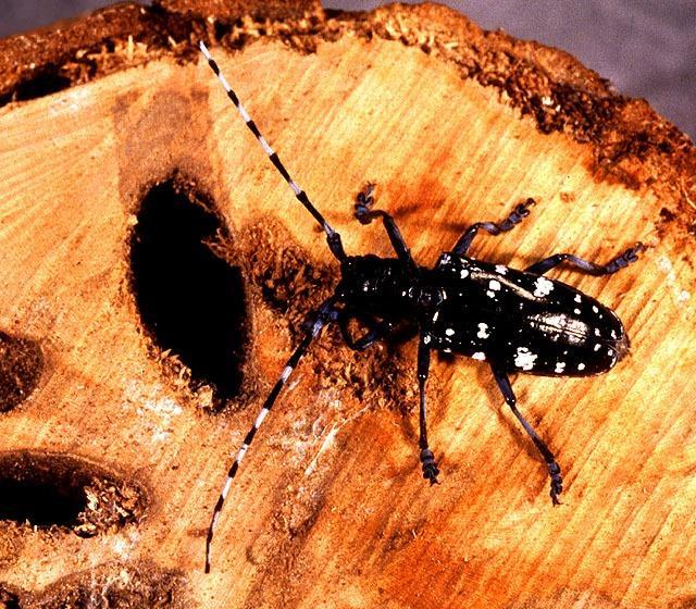 New Pest Threatens Kentucky Hardwood Stands