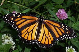 The female Monarch butterfly (Danaus plexippus)