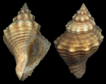 The shell of the Solenosteira microspira, the marine whelk.