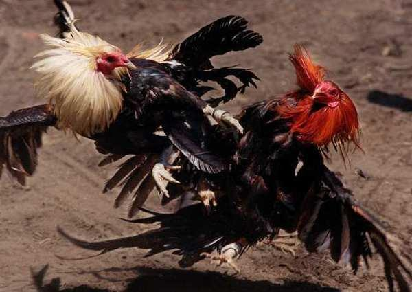 Cock fights in kentucky pics