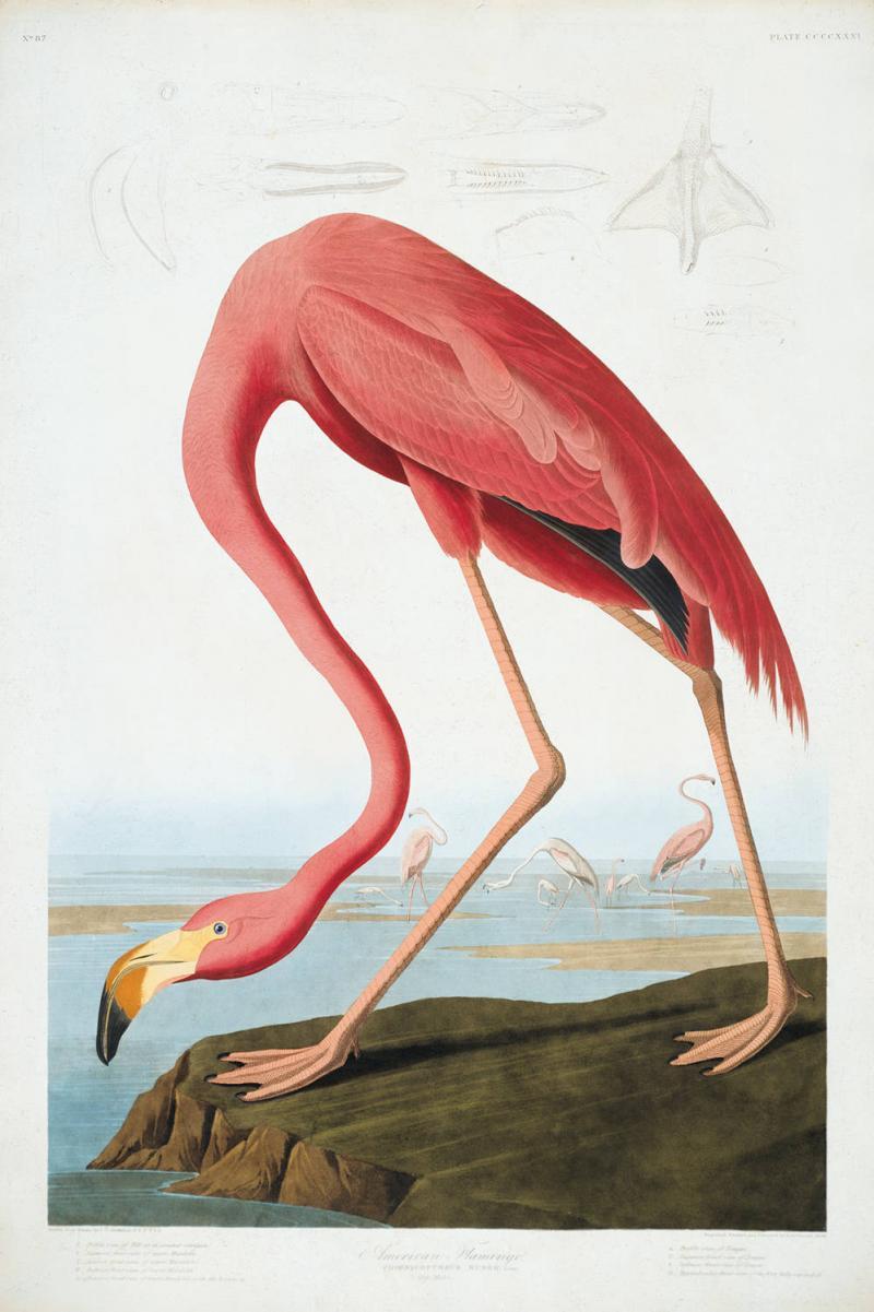 """American Flamingo,"" John James Audubon"