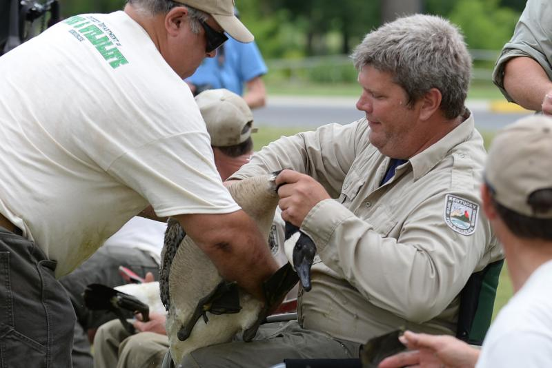 Kentucky Fish and Wildlife migratory bird biologist John Brunjes (Center) prepares to band a Canada goose.