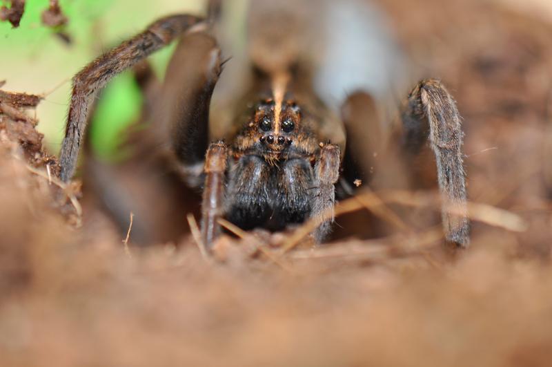 Female tigrosa georgicola, wolf spider