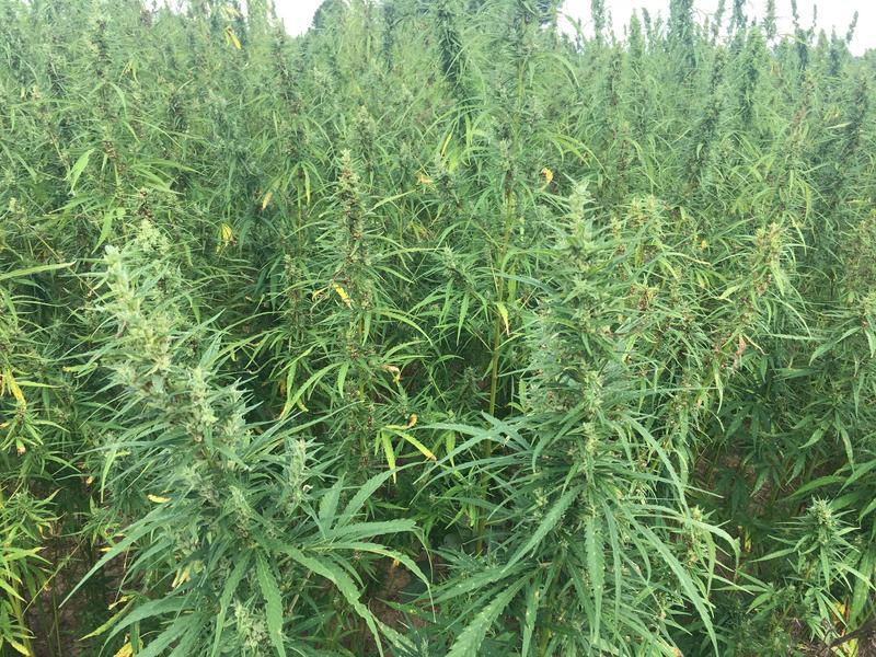 A Murray State University hemp crop