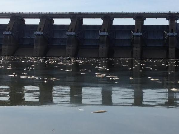 Remnants of the nearly 500,000 dead Asian carp floating below Barkley Dam.