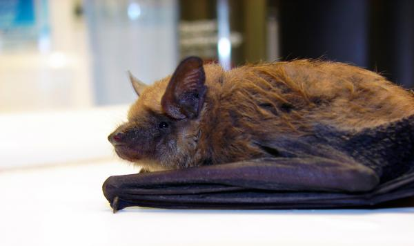 Big brown bat, Eptesicus fuscus