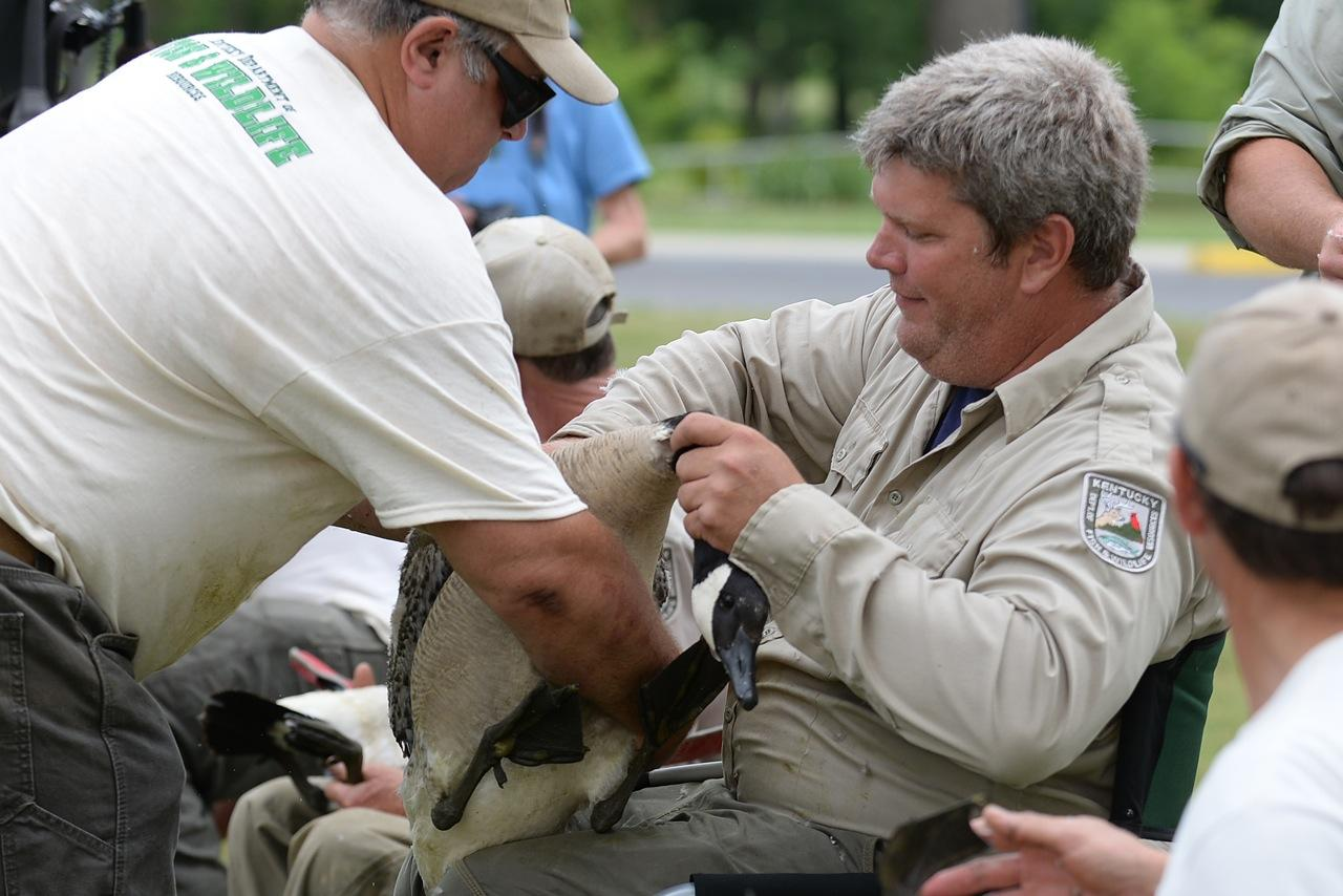 Video biologists band geese at noble park wkms for Ky fish and wildlife jobs