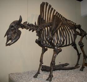 Bison Antiquus Skeleton