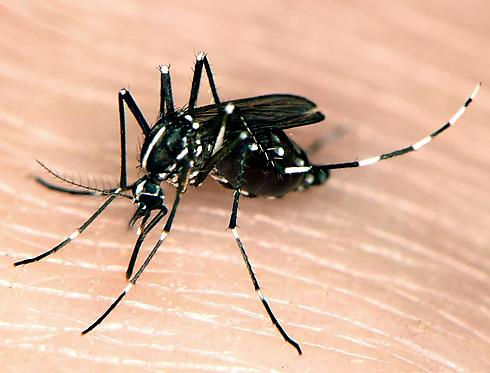 photo of Asian tiger mosquito