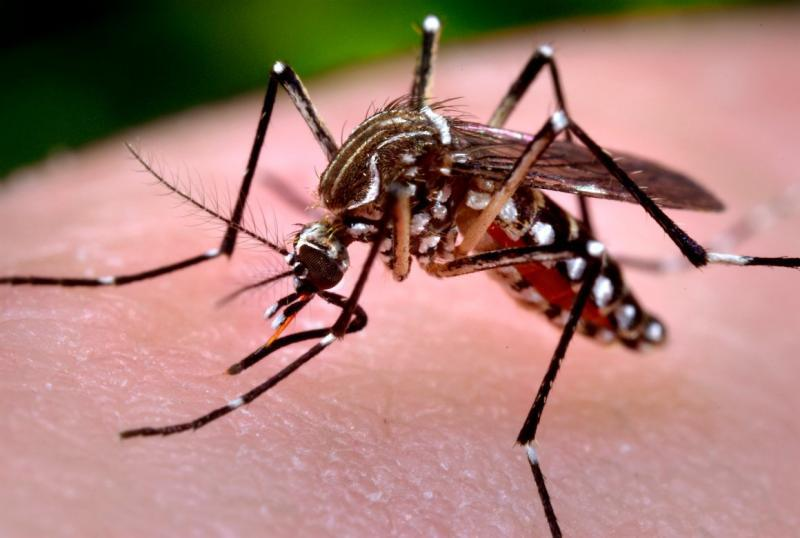 Photo of a Zika-carrying mosquito