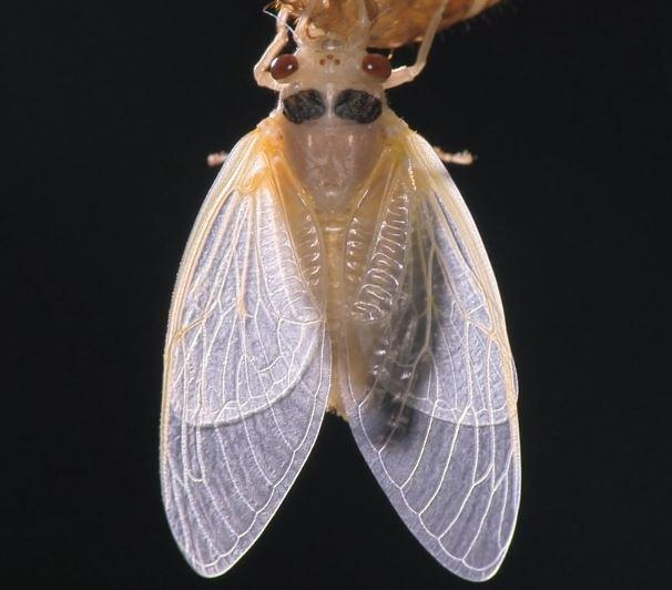 A periodical cicada adult emerges from its immature husk after spending 17 years underground sipping sap from tree roots.