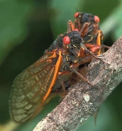 A male periodical cicada approaches a female that responded to his deafening call.
